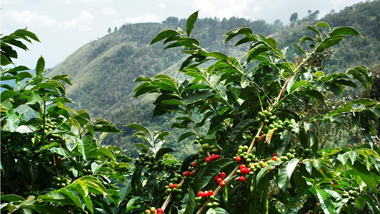 Besuch einer Kaffeeplantage in Costa Rica